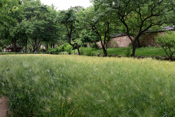 밀과 보리밭