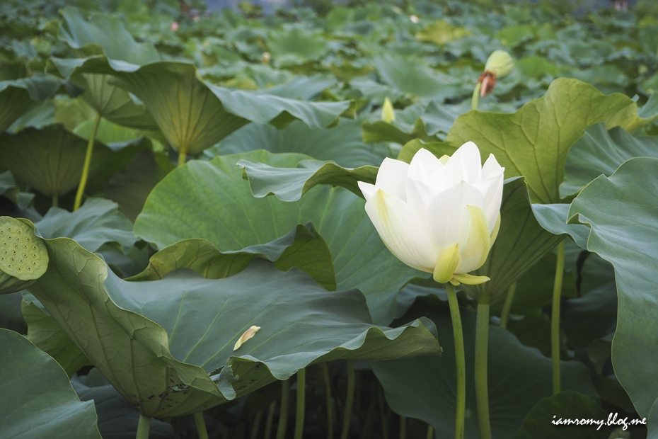 연못을 가득 채운 연잎과 하얀 연꽃