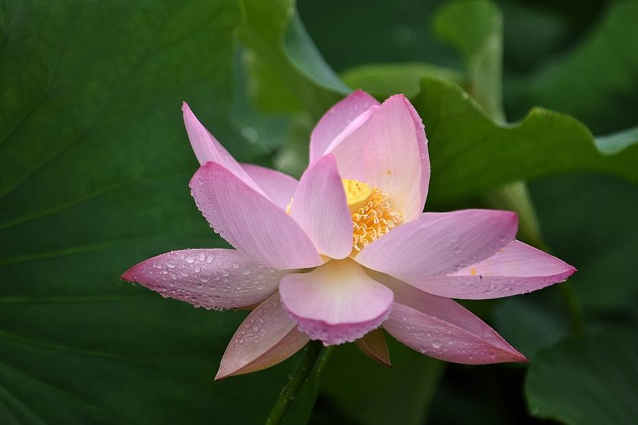 봉선사연꽃5