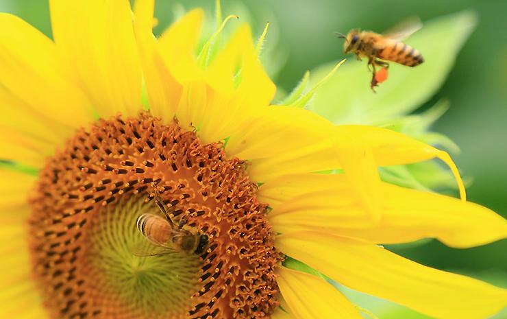 해바라기에 꿀을 가지러 온 꿀벌