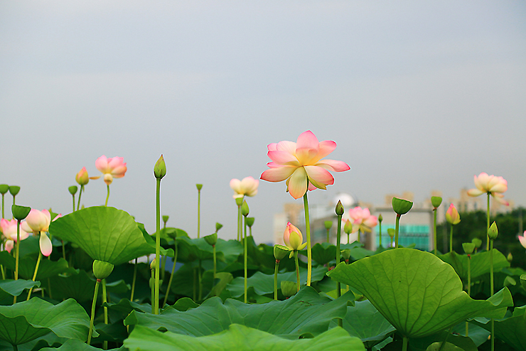 환하게 핀 분홍 연꽃들
