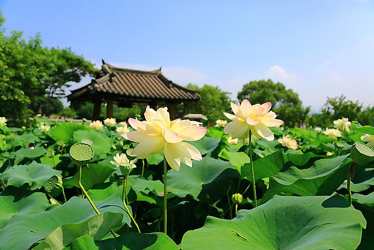 연못에 핀 연꽃