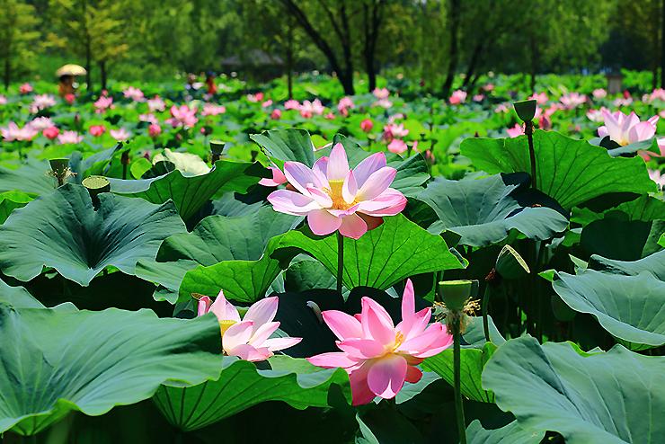 분홍색으로 핀 연꽃들