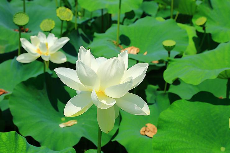 하얗게 핀 연꽃