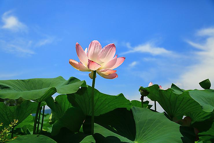 분홍색의 연꽃