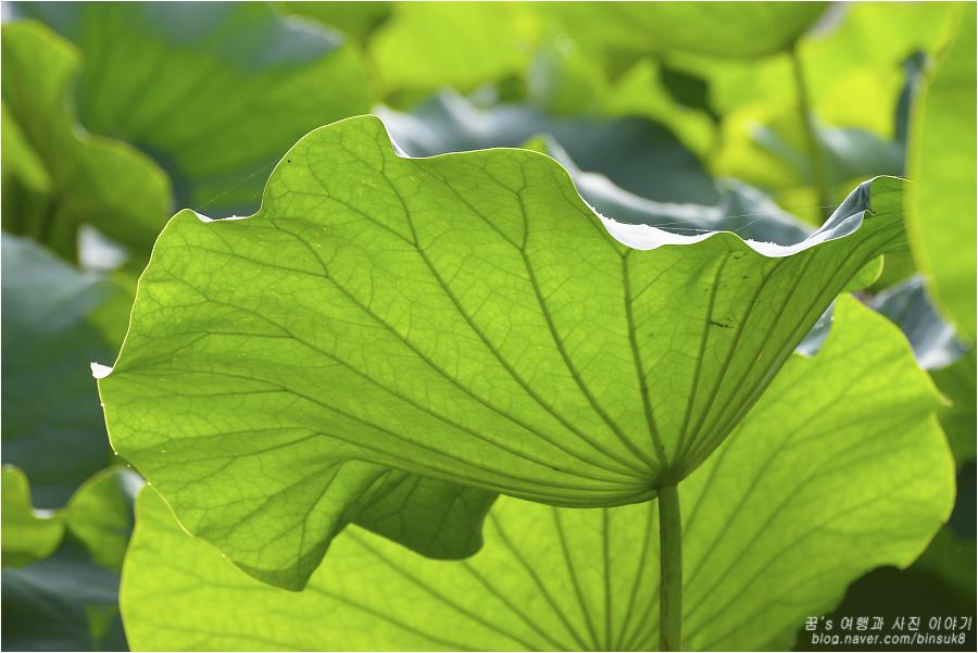 커다란 연잎