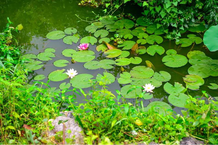 수련이 핀 정원의 연못
