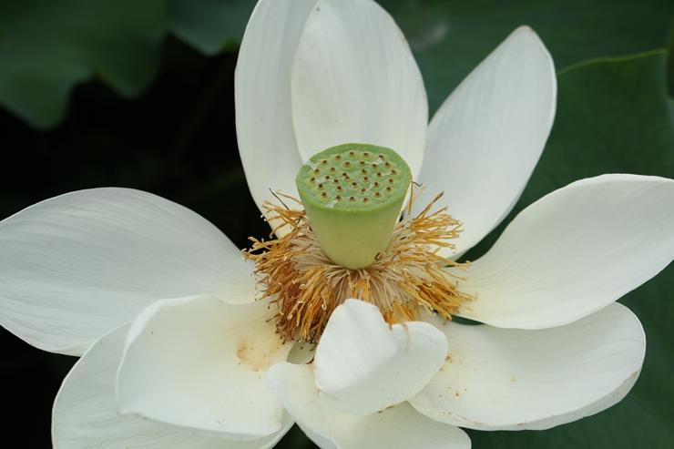 씨앗이 보이는 연꽃