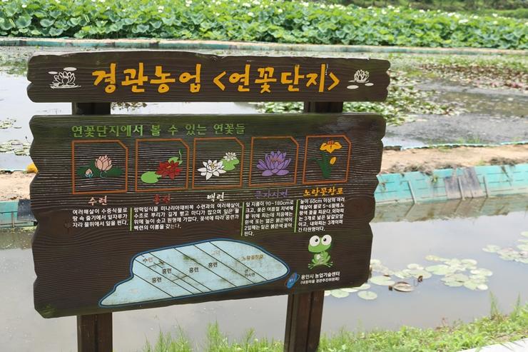 경관농업 연꽃단지