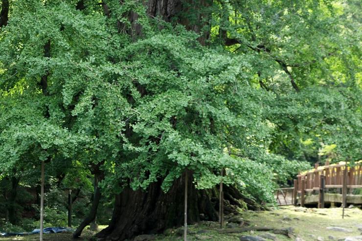 1100년된 은행나무
