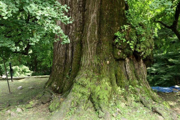은행나무 아랫부분