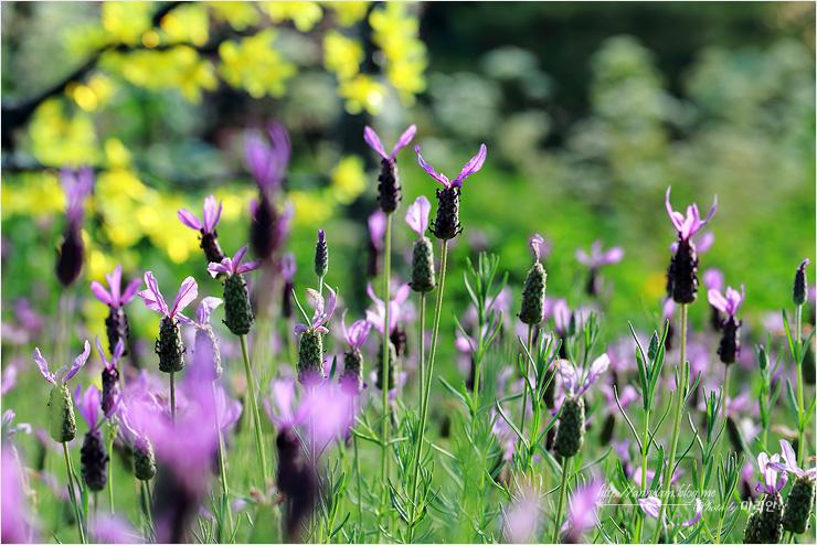 라벤더 꽃밭