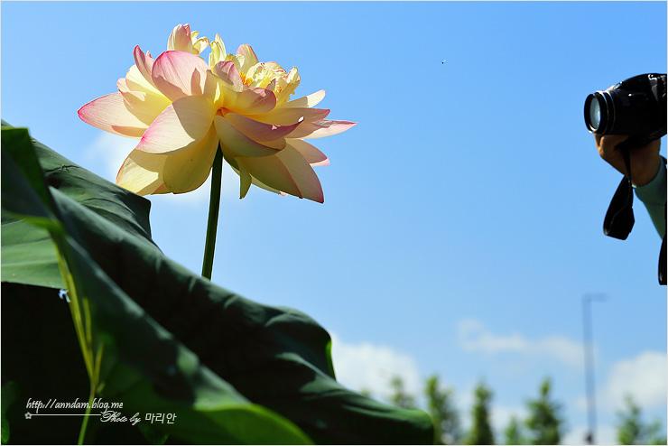 연꽃 사진