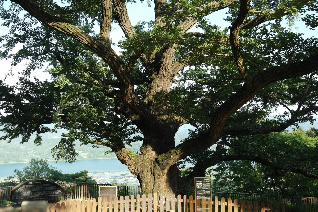 수종사 은행나무