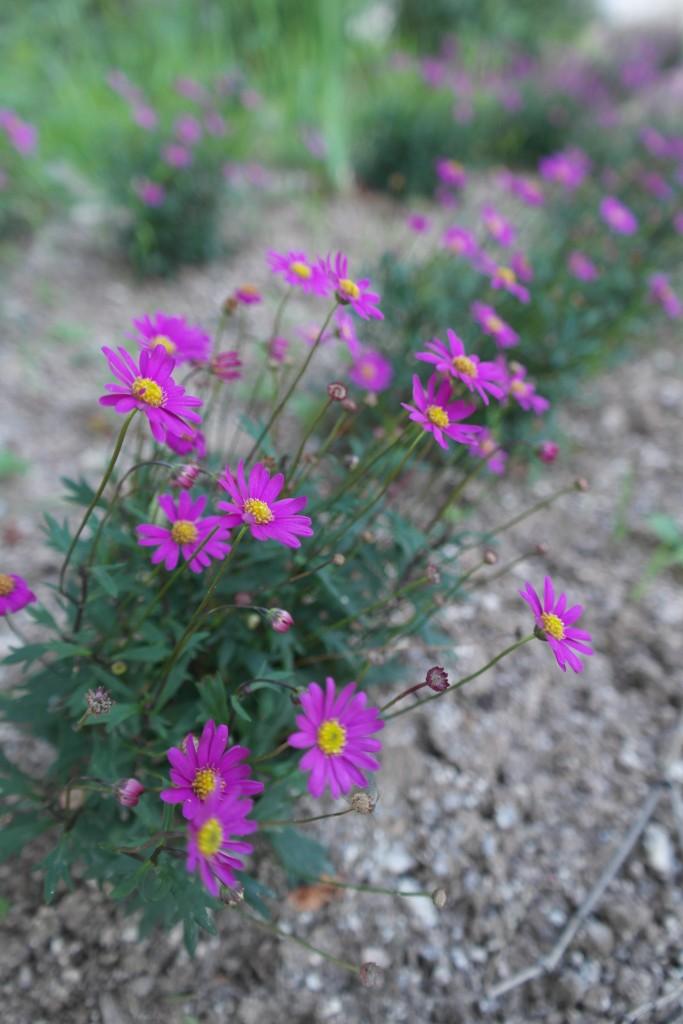 만개한 보라색 꽃