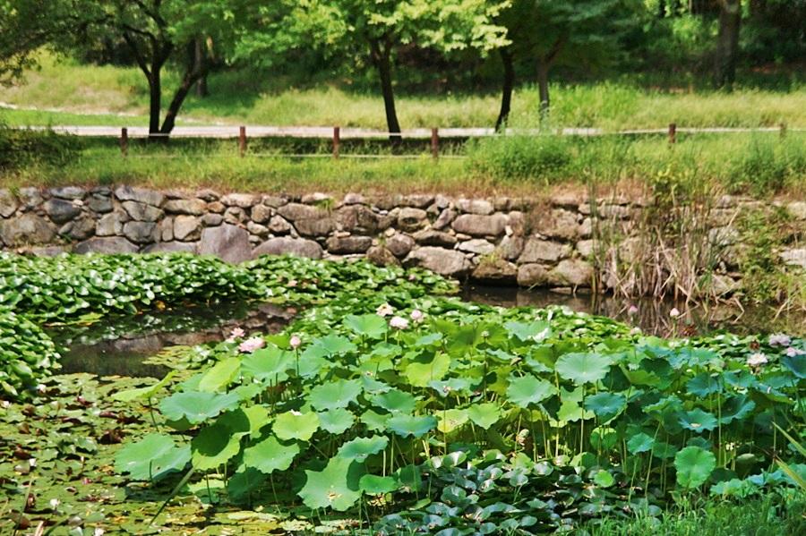 연못에 핀 수련과 연꽃