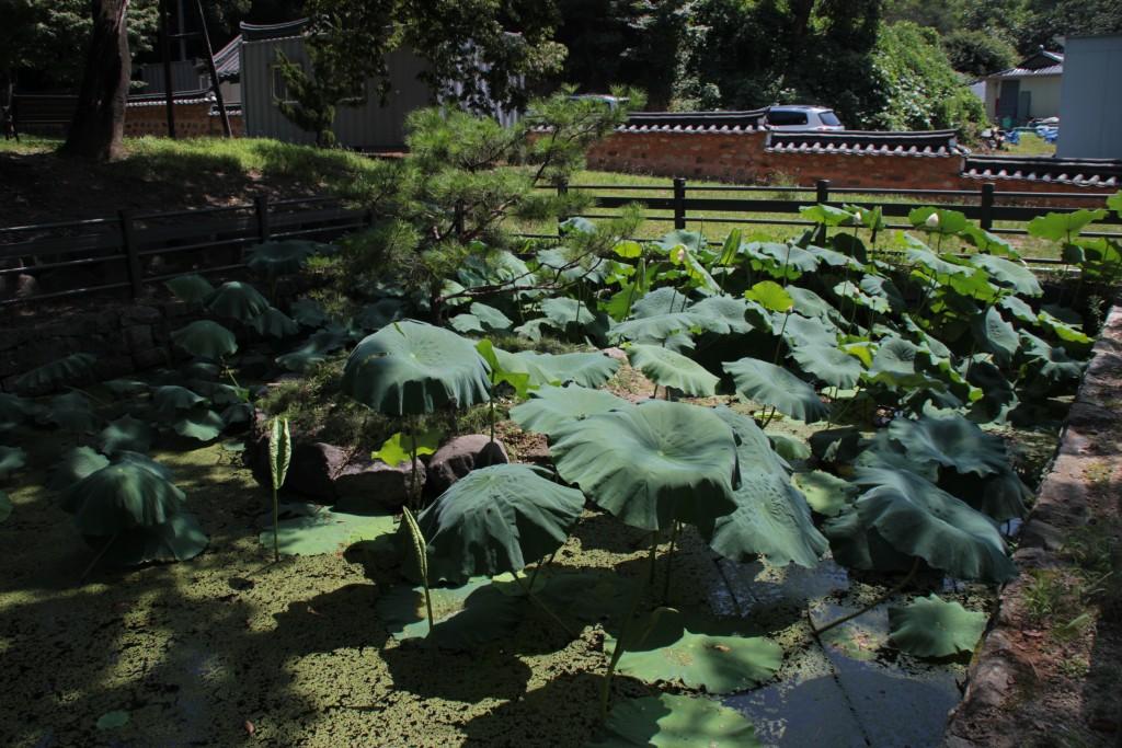 연못에 자란 연잎들