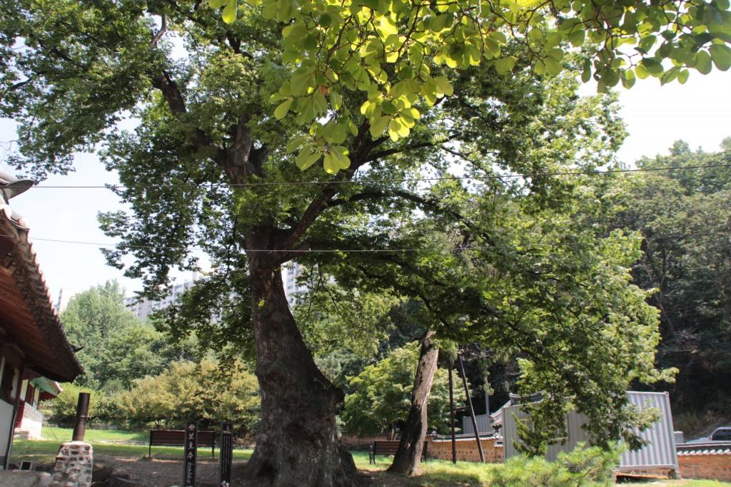 거대한 느티나무