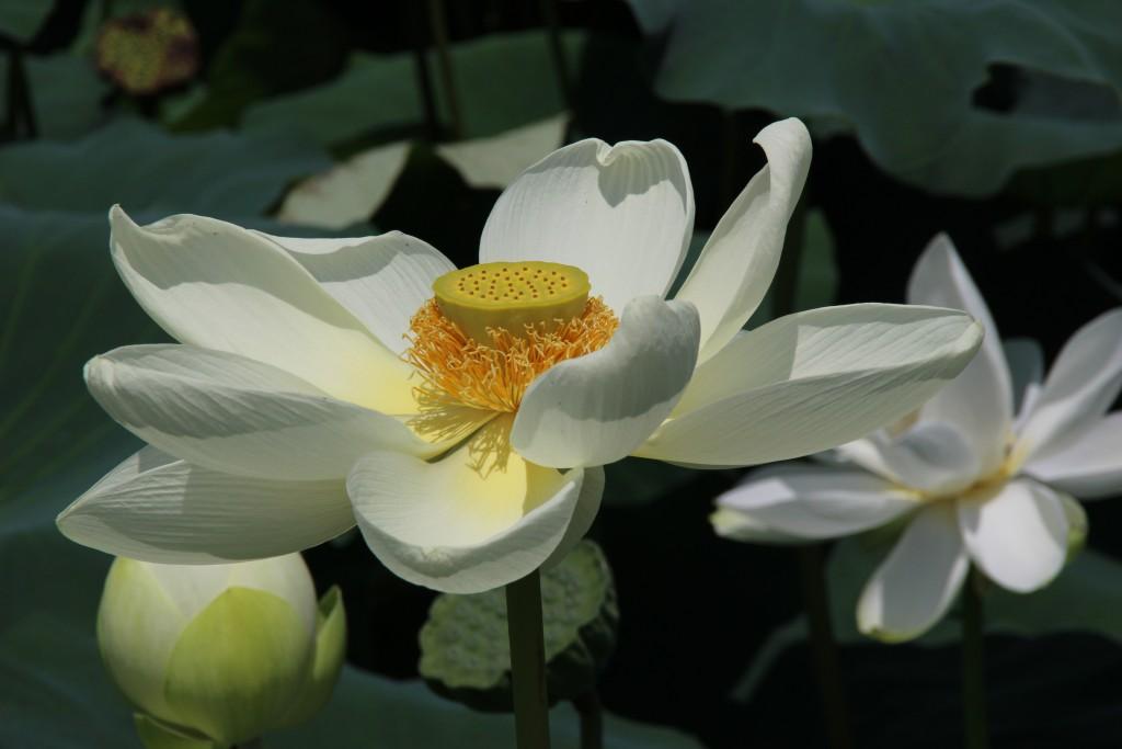 하얀 백련꽃