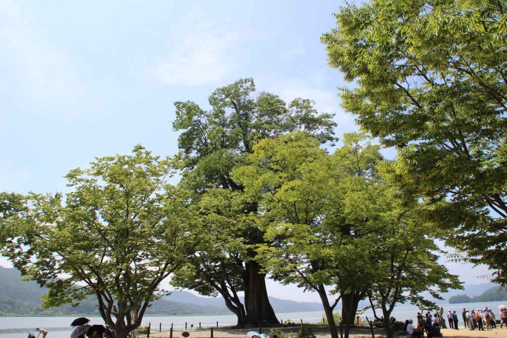 큰 느티나무와 사람들