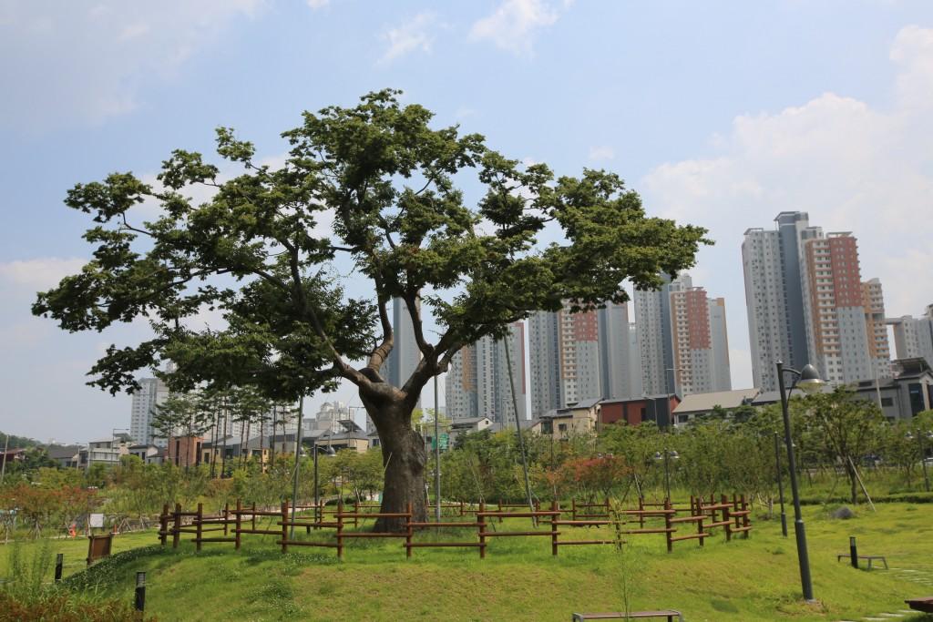 울타리에 둘러 쌓인 큰 느티나무
