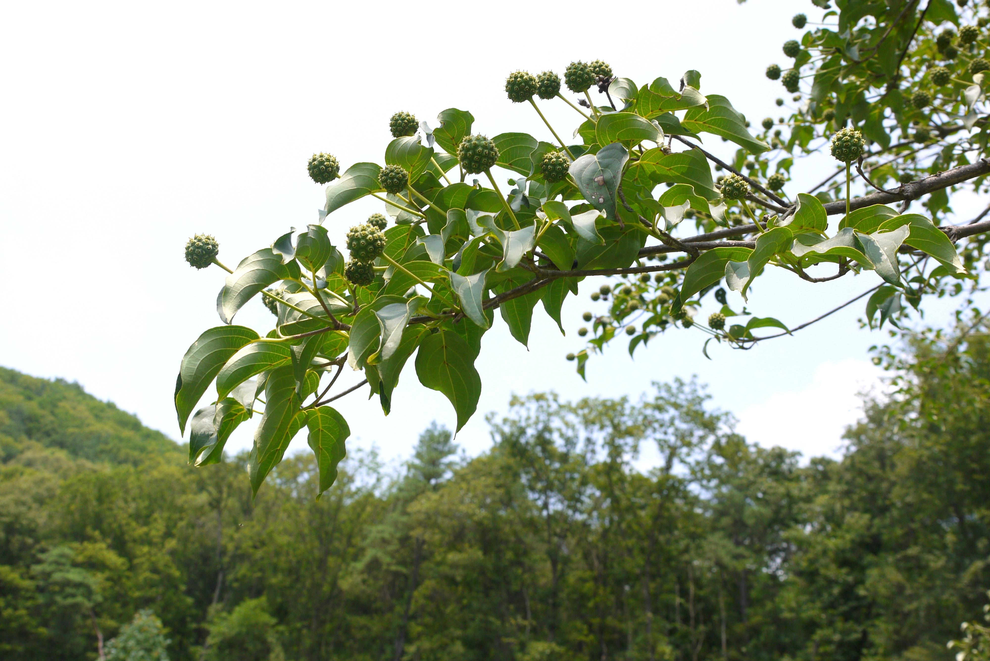 산딸나무 열매의 사진