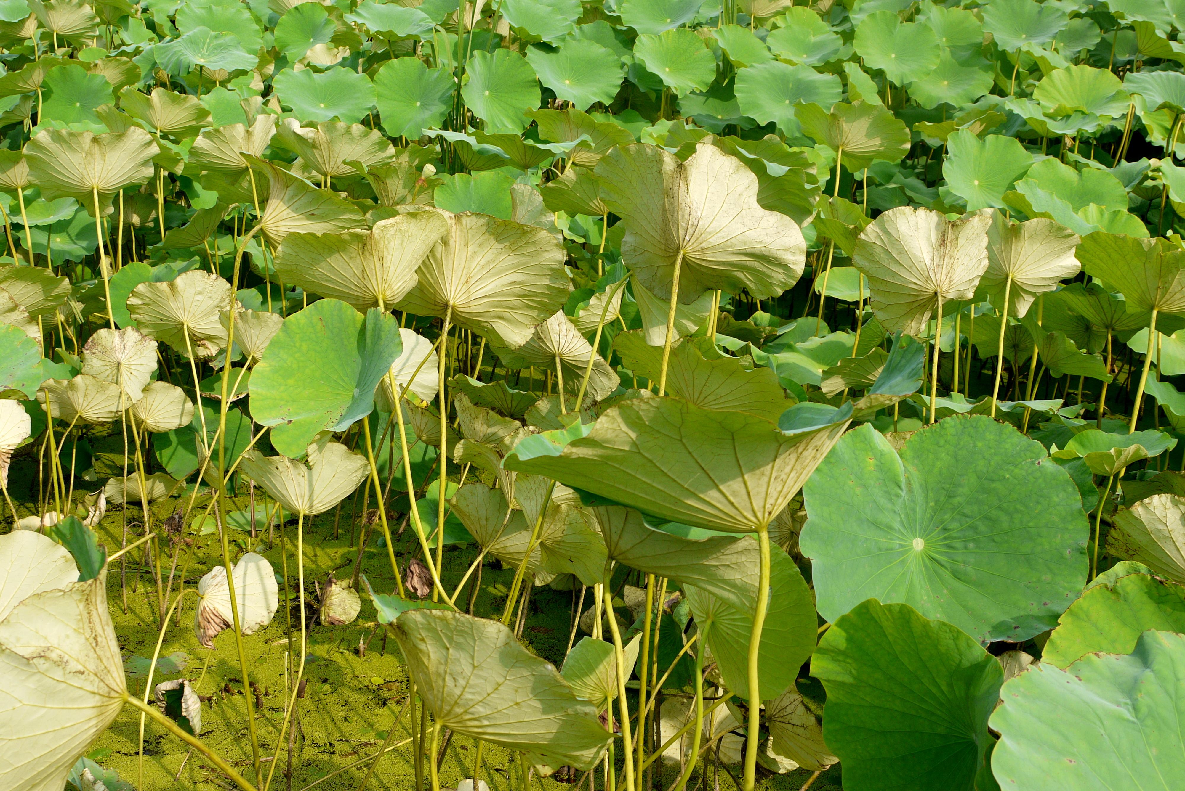 연못에 핀 연잎과 연꽃