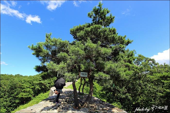 파사성 한쪽에 심어진 소나무