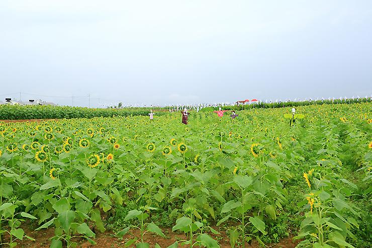 허수아비가 있는 해바라기 꽃밭