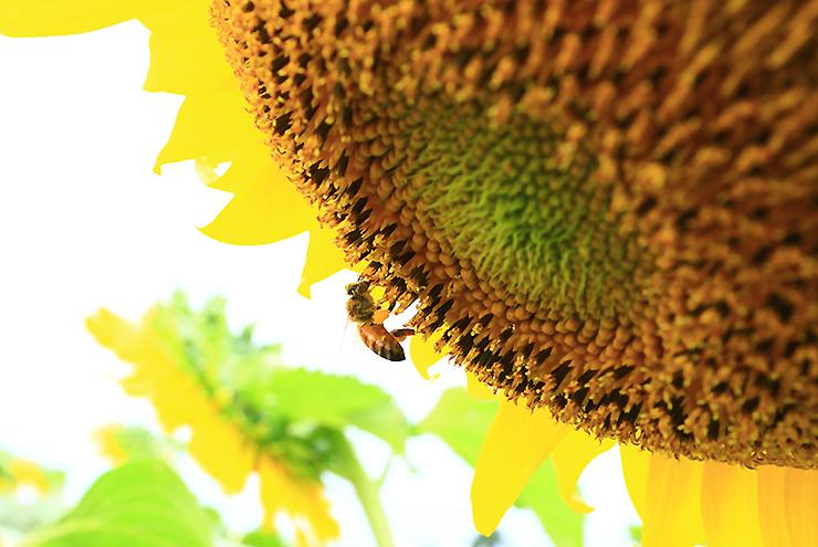 해바라기꽃에 앉은 벌