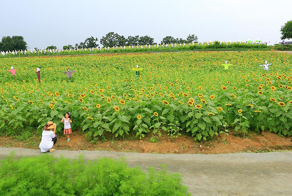 연천 해바라기 꽃밭