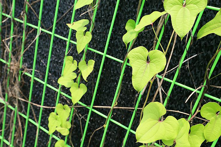 담장에 핀 식물