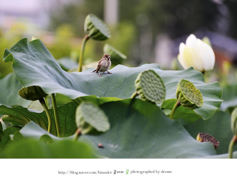 연꽃 잎 위에 앉은 참새