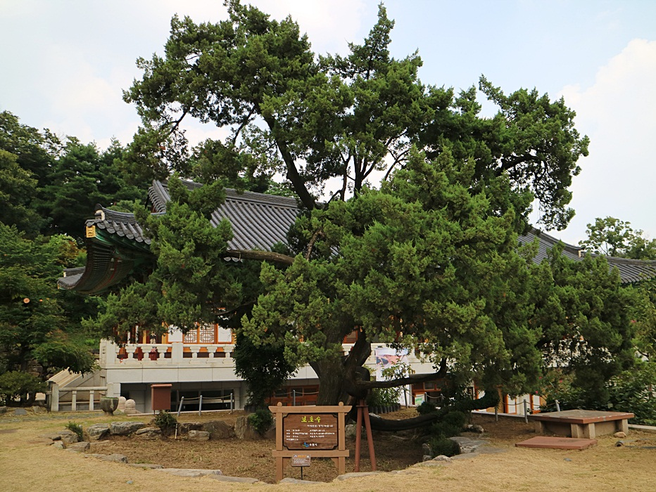 800년 수령의 향나무