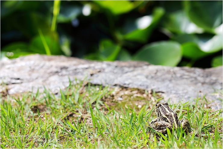 햇빛을 쬐는 개구리 사진