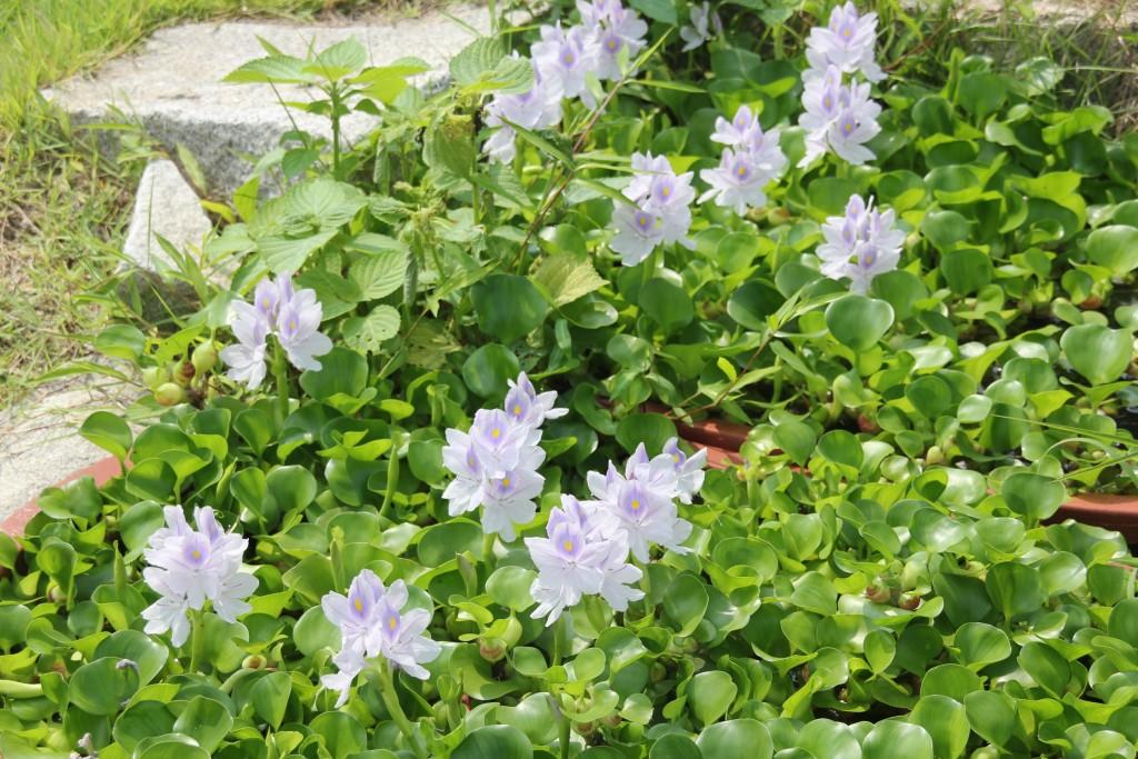 사찰 앞마당에 핀 부레옥잠 꽃