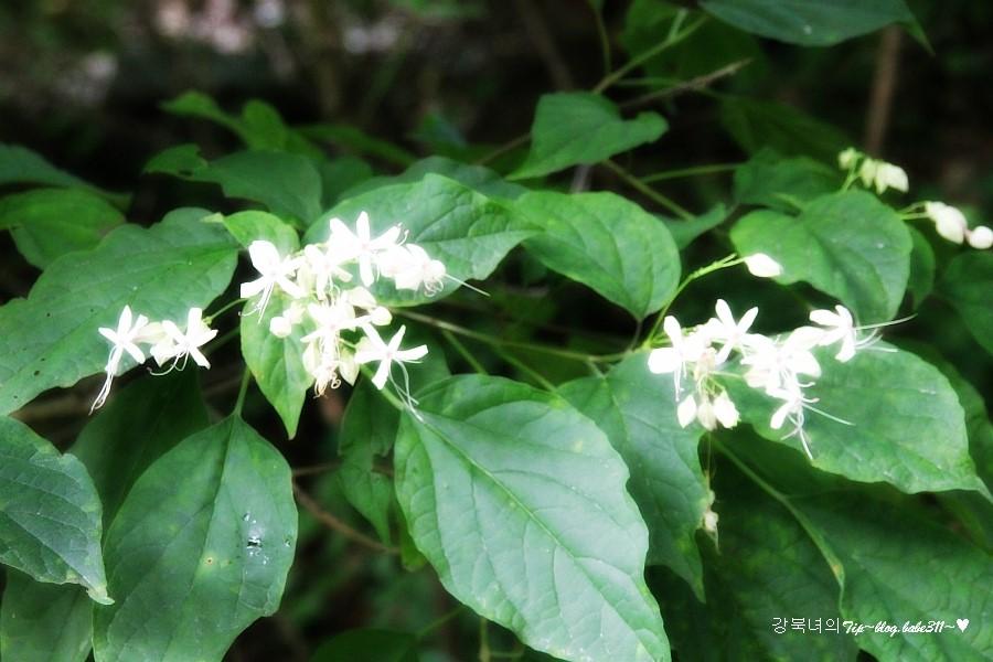 누리장나무들의 꽃