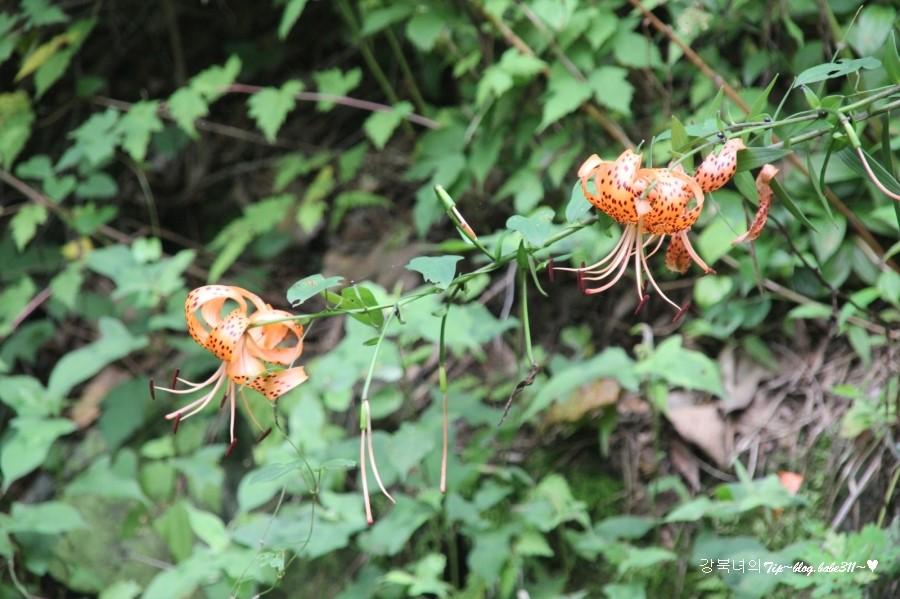 여름꽃 참나리