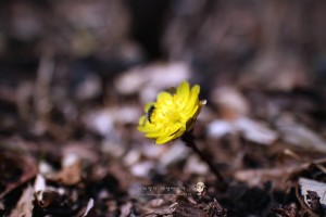 경기도 야생화 여행 봄봄봄 복수초, 너도바람꽃이 피었습니다.