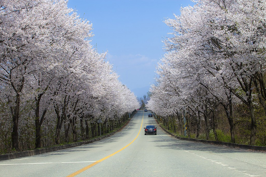길 양쪽으로 벚꽃이 가득 핀 도로