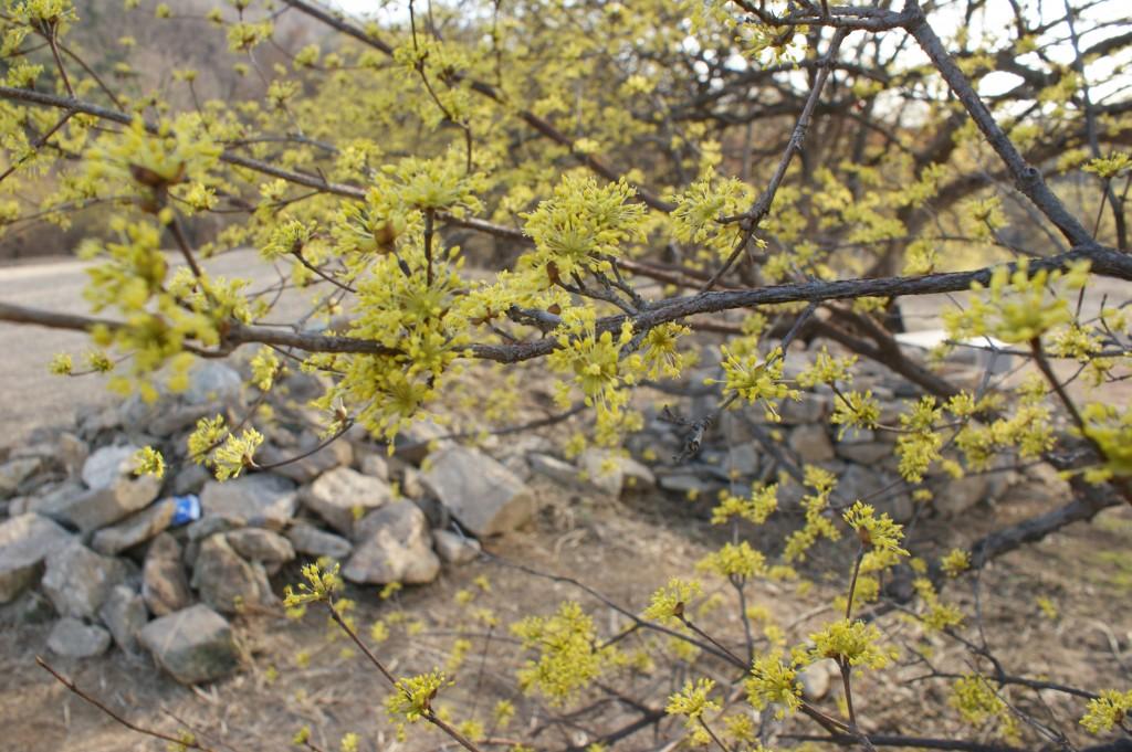 산수유 꽃이 핀 나무