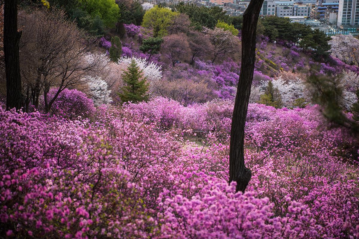 26 원미산진달래공원