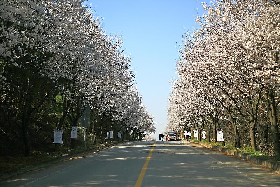 여주흥천남한강벚꽃축제