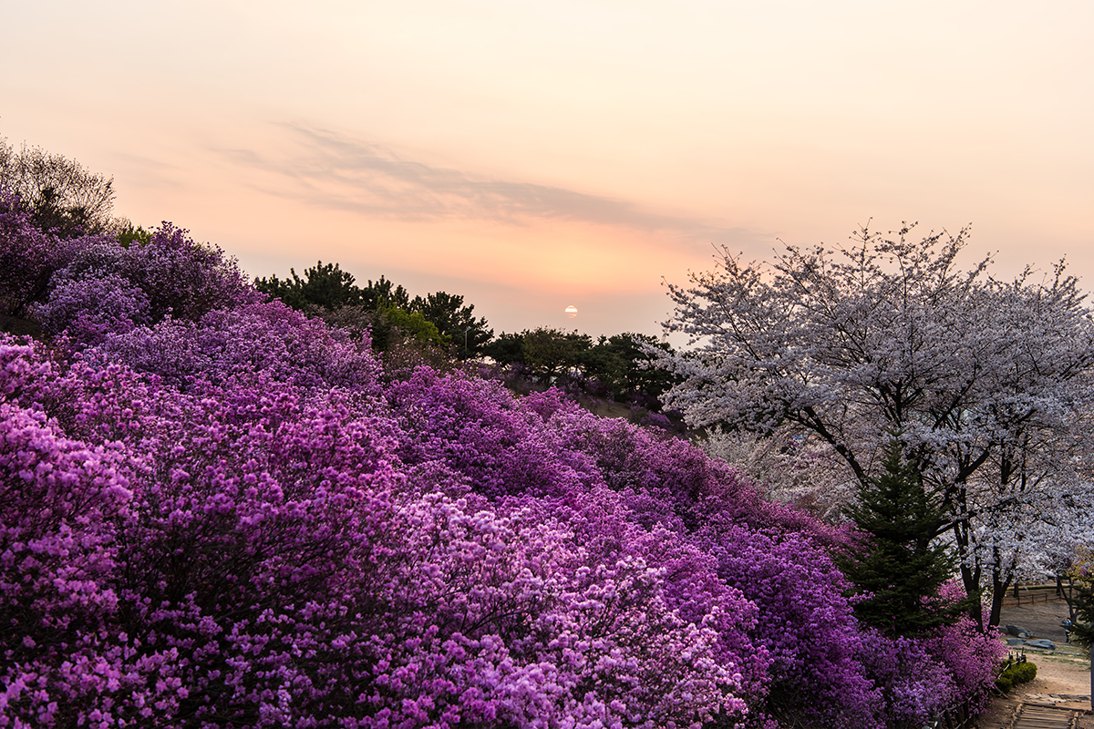 31 원미산진달래공원