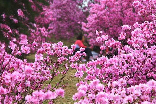 경기도 축제]부천 원미산 진달래축제-붉은 진달래꽃동산