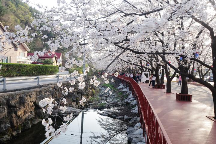 만개한 벚꽃길을 따라서