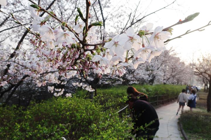도청 주변 벚나무
