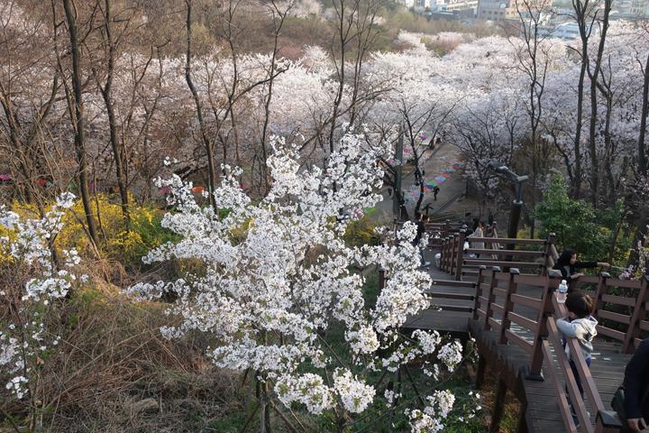 도당산 만개한 벚꽃