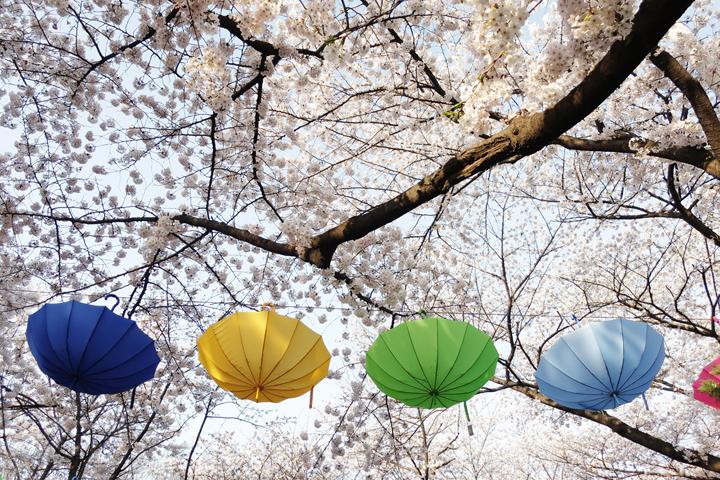 벚나무 아래에 설치된 우산