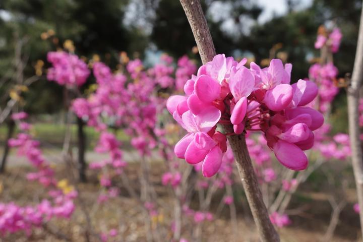 박태기나무 꽃